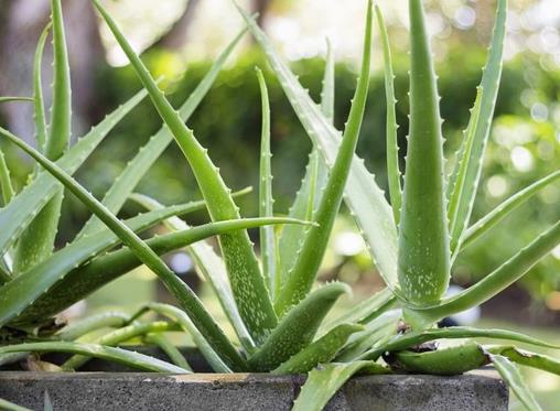 5 useful indigenous and medicinal plants for your garden